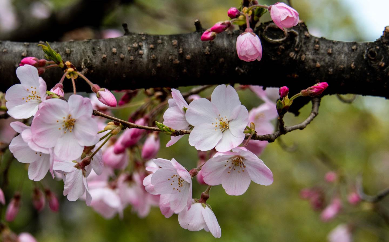 Kirschblüten in Koganei