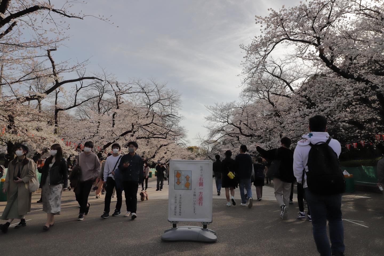 Kirschblüte Ueno