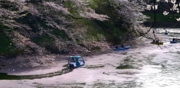 Kirschblüten in Chidorigafuchi