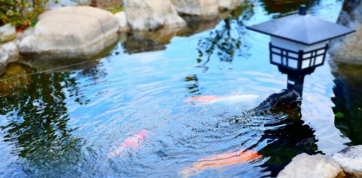 Kot-Karpfen im Teich in einem japanischen Garten (Wasser fließt ruhig dahin, intensives Blau)