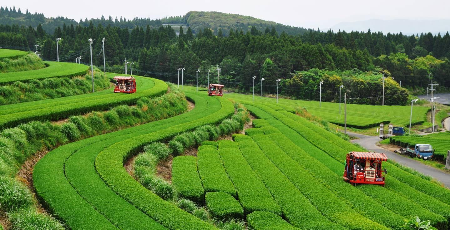 Teefeld Kagoshima