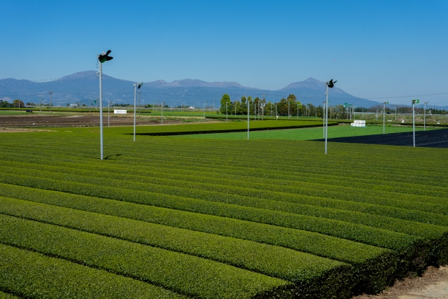 Teefeld in Kagoshima
